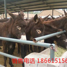 东北肉驴养殖场图片