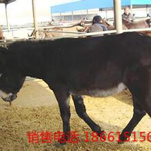 河北肉驴价格图片