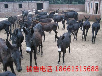 合肥市毛驴养殖场
