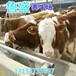西安市鲁西黄牛牛犊价格
