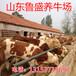 荆州市鲁西黄牛牛犊价格