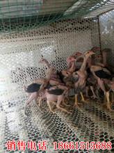 哪里有斗鸡出售小斗鸡图片