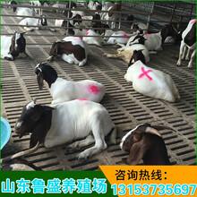 山东波尔山羊多少钱一斤图片