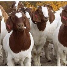 波尔山羊价格,波尔山羊养殖,波尔山羊养殖场-山东肉羊养殖场图片
