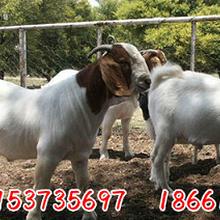 波尔山羊价格表哪里的波尔山羊最好波尔山羊苗价格图片