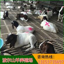 重庆波尔山羊价格图片