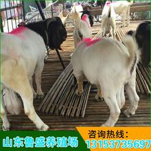 波尔山羊的养殖场图片