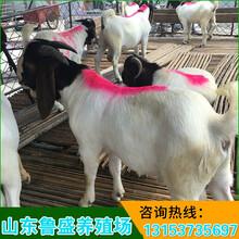 上海波尔山羊图片