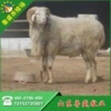 宁夏小尾寒羊养殖场图片
