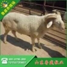 山西小尾寒羊养殖场图片