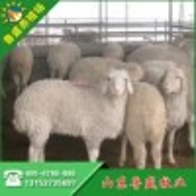 江西小尾寒羊养殖场图片