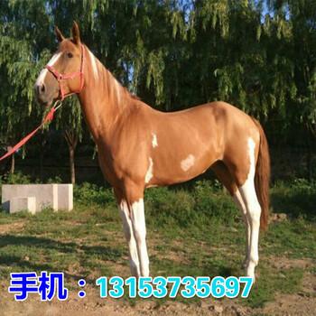北京一匹训好的骑乘马价格