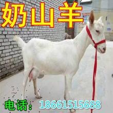 江西省购买奶山羊图片