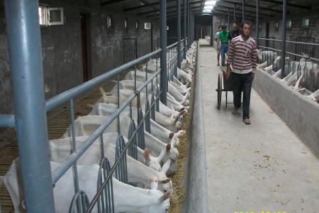 益阳市萨能奶山羊多少钱