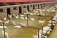 兰州市奶山羊多少钱一只