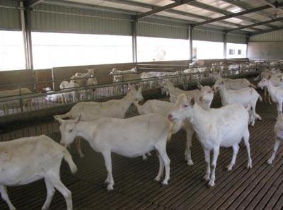 张家界市奶山羊多少钱