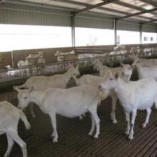 江西省哪有卖奶山羊图片
