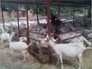松原市奶山羊养殖场