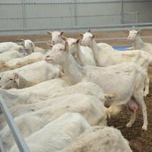 江西省卖奶山羊价钱图片