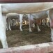 安顺市出售奶山羊