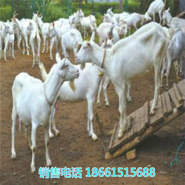 平凉市奶山羊种羊价格