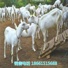 江西省奶山羊哪个品种好饲养图片
