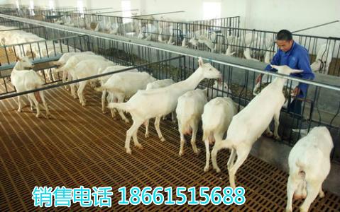 湖州市奶山羊种羊价格多少