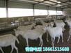 石家庄市奶山羊养殖场