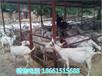 晋城市卖奶山羊价钱