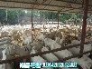 芜湖市奶山羊多少钱一只