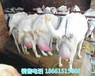 巴中市卖奶山羊