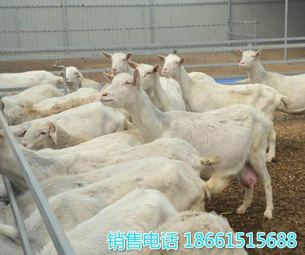 湛江市奶山羊种羊价格多少