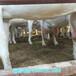 博尔塔拉卖奶山羊价钱