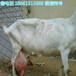 玉林市哪有卖奶山羊