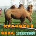 佳木斯哪儿有卖骆驼的