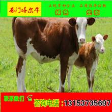 鲁西黄牛小牛犊价格图片