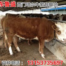 夏洛莱牛小牛犊价格图片
