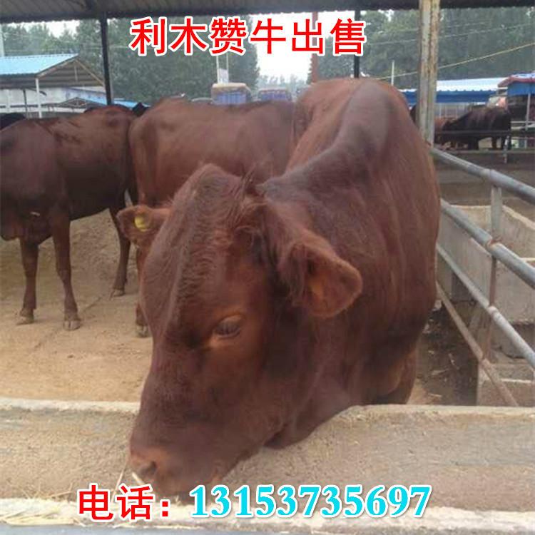 300斤西门塔尔牛养殖技术