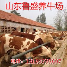 绍兴利木赞牛牛犊价格图片