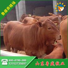 鲁西黄牛小牛犊价格好消息图片