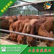牛犊价格鲁西黄牛图片