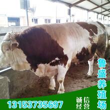 鲁西黄小牛犊价格图片