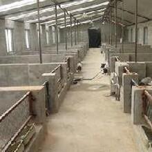 雜交野豬養殖場出售三個月野豬價格,野豬多少錢一只,小野豬多少錢一只圖片