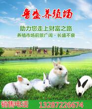 种兔价格图片