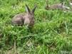 青岛市肉兔品种