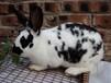 淄博市哪儿有卖肉兔种兔的