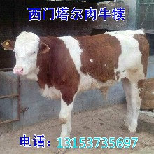 改良肉牛犊养殖图片