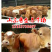 小肉牛犊怎么饲养