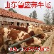 什么地方卖小乳牛
