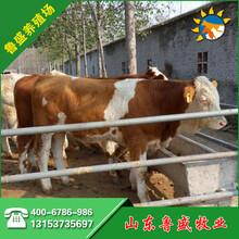 牛犊子的价格种牛图片